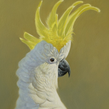 (CreativeWork) Sulphur-crested Cockatoo portrait by Brett Jarrett. Oil Paint. Shop online at Bluethumb.
