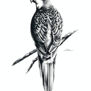 (CreativeWork) Rosella  by Jahne Meyer. drawing. Shop online at Bluethumb.