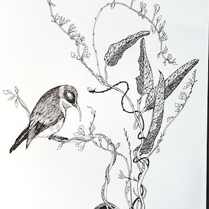 (CreativeWork) Western Spinebill in Hardenbergia by Jeanette Giroud. drawing. Shop online at Bluethumb.