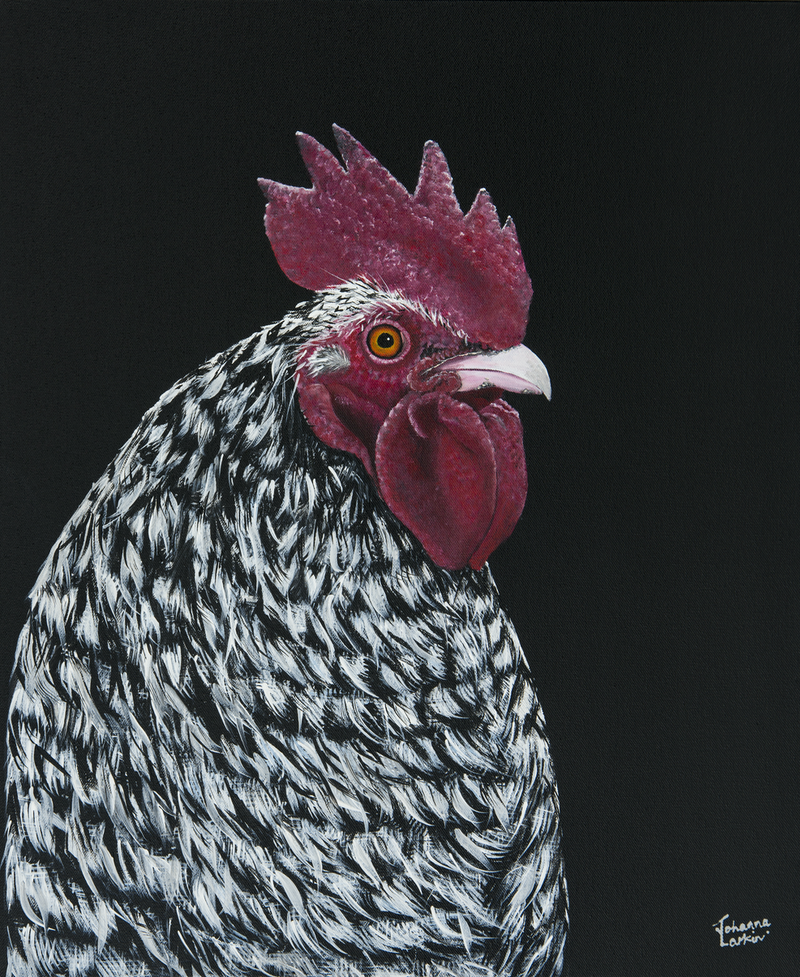 (CreativeWork) Plymouth Rock Chicken Ed. 9 of 150 by Johanna Larkin. print. Shop online at Bluethumb.