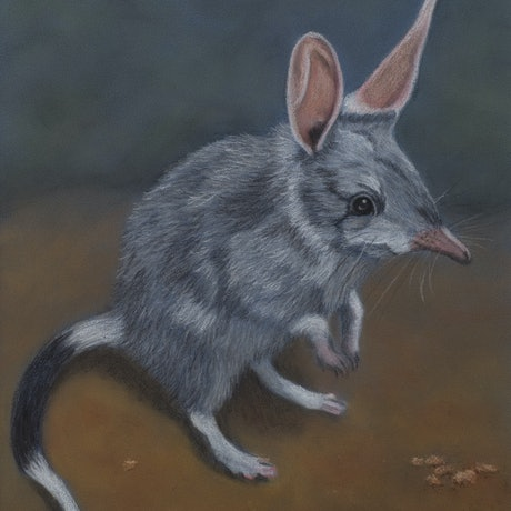 "(CreativeWork) ""Billy"" the Bilby by Nyree Mason. Drawings. Shop online at Bluethumb."