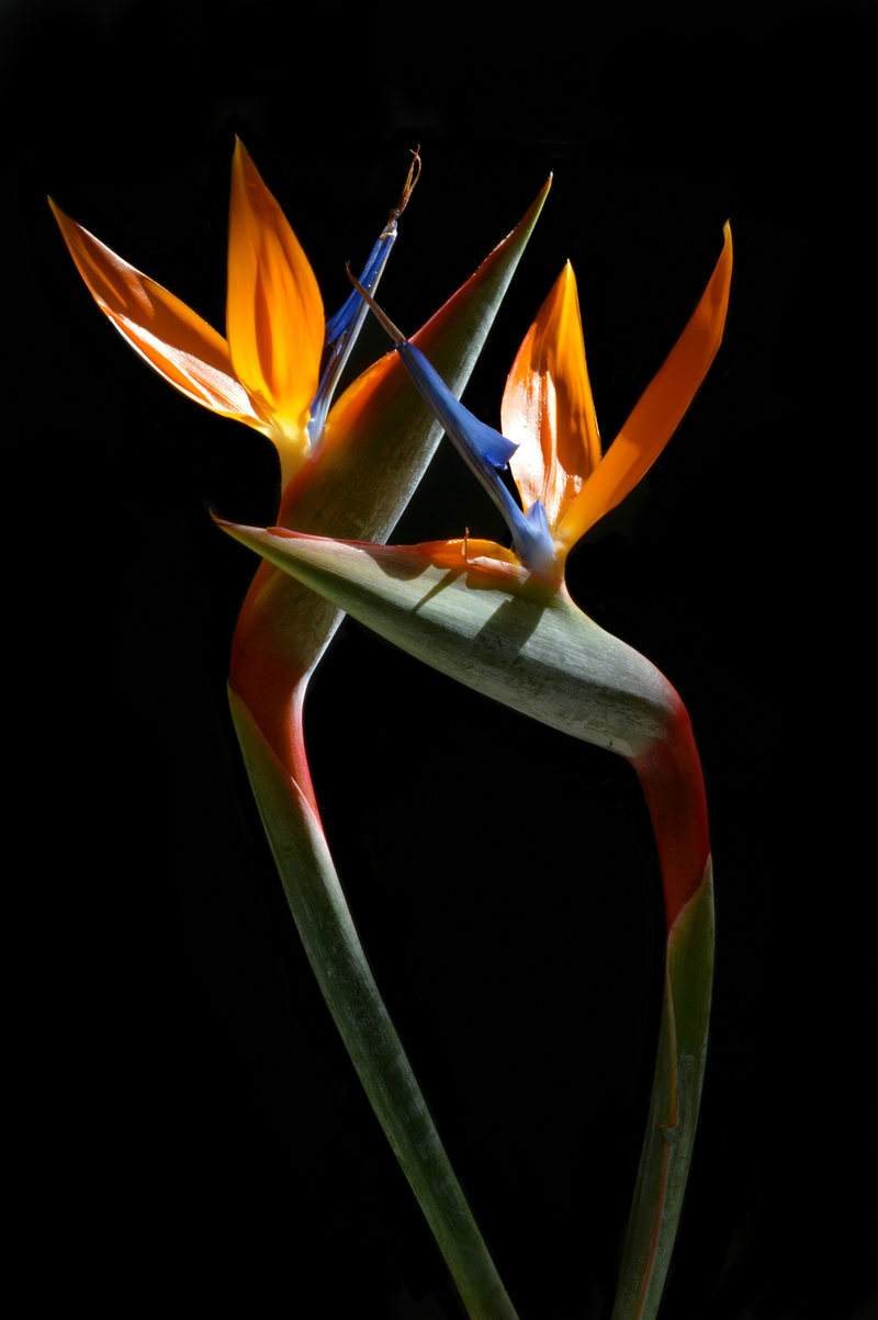 (CreativeWork) Birds Of Paradise by Nadia Culph. photograph. Shop online at Bluethumb.