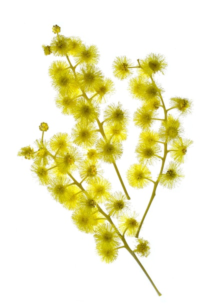 (CreativeWork) Wattle on White by Nadia Culph. photograph. Shop online at Bluethumb.