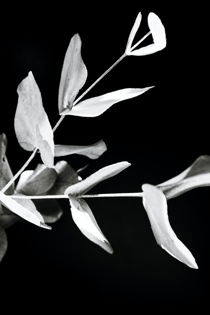 (CreativeWork) Eucalyptus by Elizabeth Hosking. photograph. Shop online at Bluethumb.
