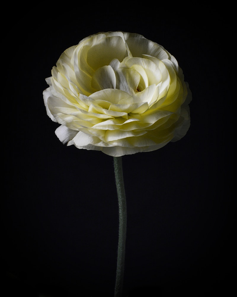 White Ranunculus By Nadia Culph Paintings For Sale Bluethumb