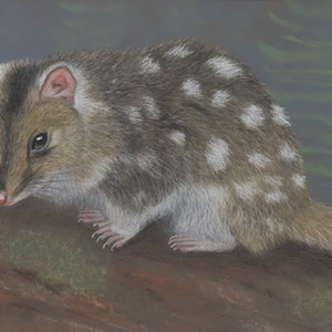 "(CreativeWork) ""Dot"" the Eastern Quoll Original by Nyree Mason. drawing. Shop online at Bluethumb."
