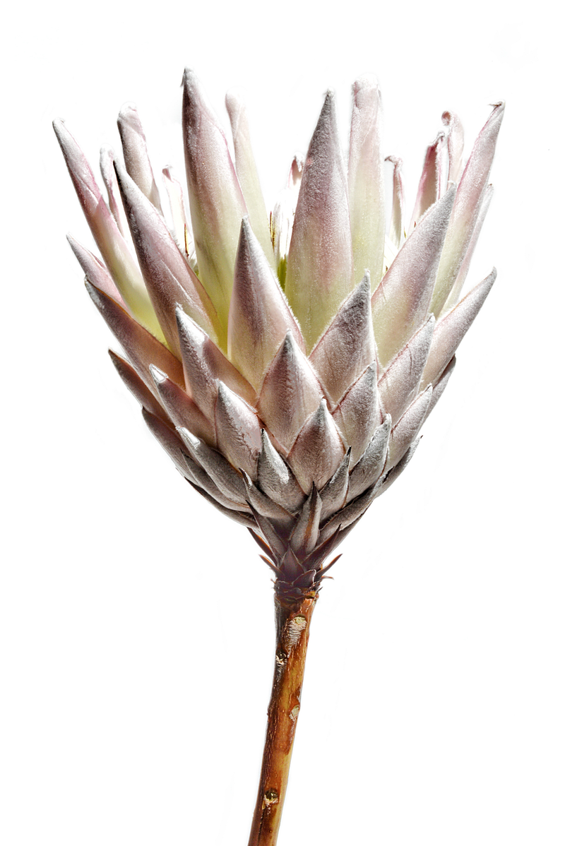 (CreativeWork) Protea On White by Nadia Culph. photograph. Shop online at Bluethumb.