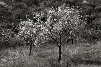 (CreativeWork) Almond Blossom, Spain, SP012 by Simon Greetham. photograph. Shop online at Bluethumb.