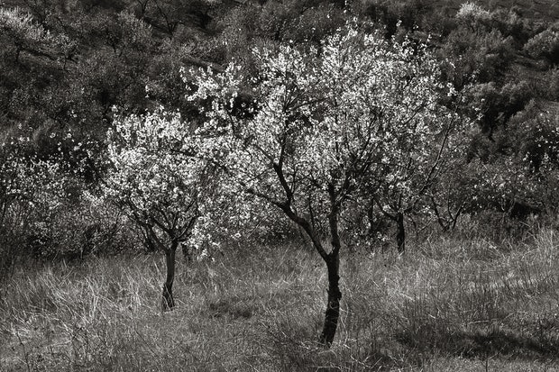 Almond Blossom, Spain, SP012