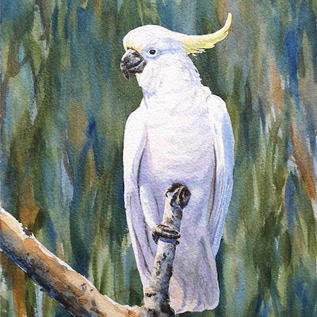 (CreativeWork) Cockatoo, Beech Forest by Francis McMahon. Watercolour Paint. Shop online at Bluethumb.