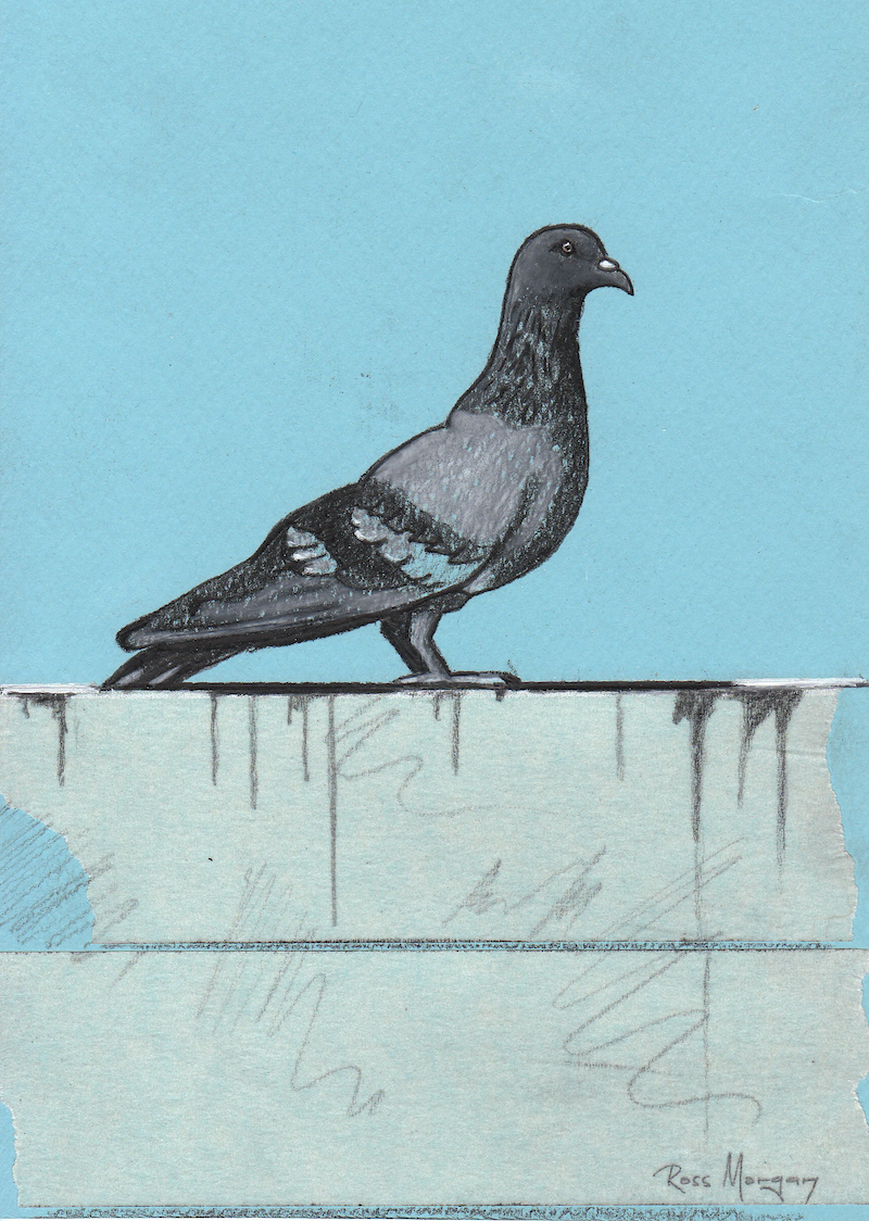 (CreativeWork) Pigeon on wall  by Ross Morgan. #<Filter:0x00007f3c2250f630>. Shop online at Bluethumb.