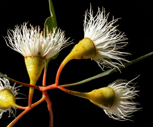 (CreativeWork) Yellow Gum Blossoms Ed. 1 of 100 by Nadia Culph. #<Filter:0x00007f7b9ee363b0>. Shop online at Bluethumb.