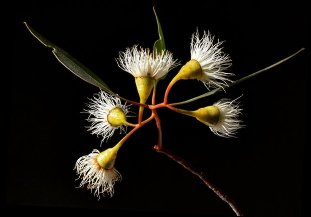 Yellow Gum Blossoms
