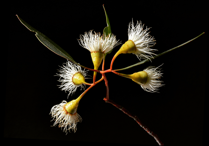 (CreativeWork) Yellow Gum Blossoms by Nadia Culph. photograph. Shop online at Bluethumb.