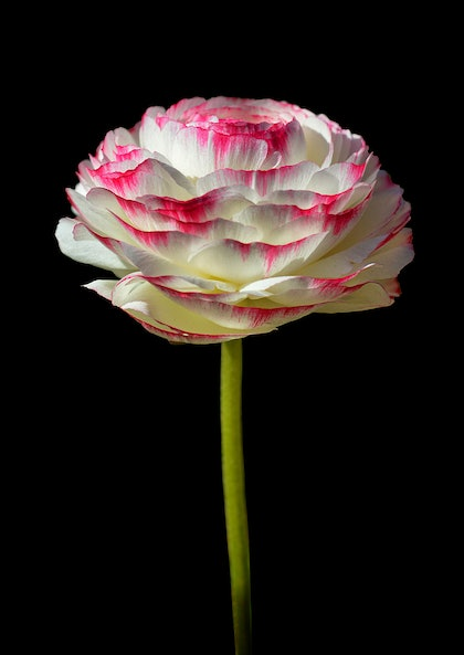 (CreativeWork) Pink & White Ranunculus  by Nadia Culph. photograph. Shop online at Bluethumb.