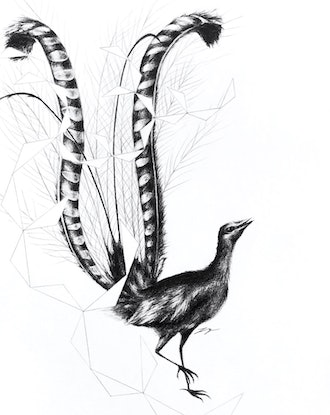 (CreativeWork) Lyre Bird and Feather - Framed, ready to hang by Jahne Meyer. Drawings. Shop online at Bluethumb.