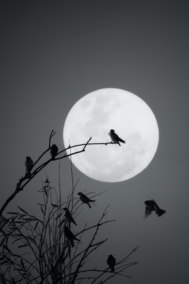 (CreativeWork) Moonlighting with the birds Ed. 1 of 2 by Wendy Philip. Photograph. Shop online at Bluethumb.