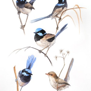 (CreativeWork) Superb Fairy-Wren Sketches in Watercolour by Nadya Neklioudova. #<Filter:0x00007f7bb5311900>. Shop online at Bluethumb.