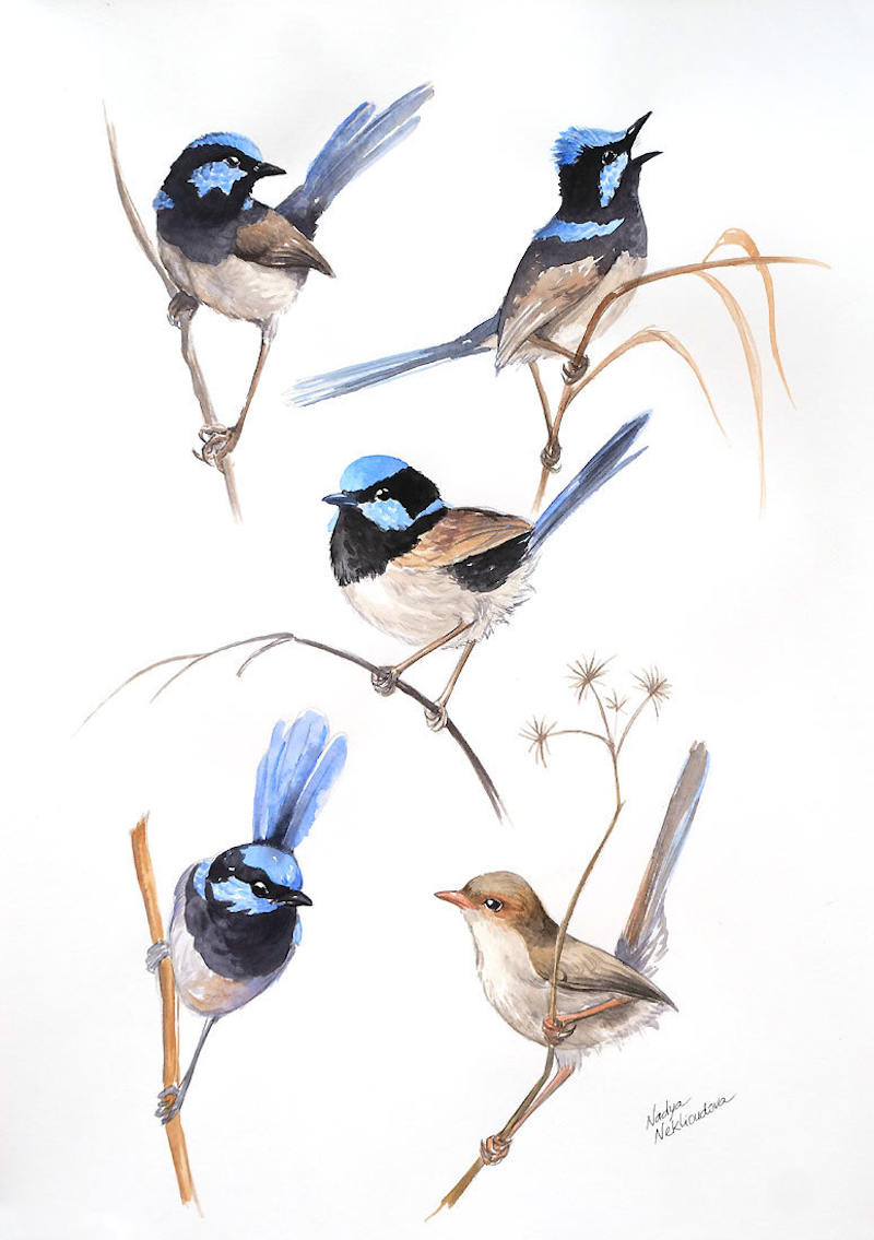 (CreativeWork) Superb Fairy-Wren Sketches in Watercolour by Nadya Neklioudova. Watercolour Paint. Shop online at Bluethumb.