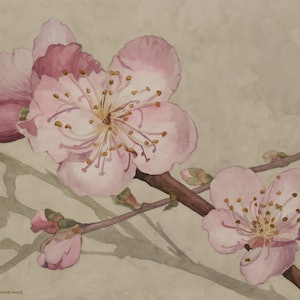 (CreativeWork) Peach Blossoms by JAN LAWNIKANIS. watercolour. Shop online at Bluethumb.