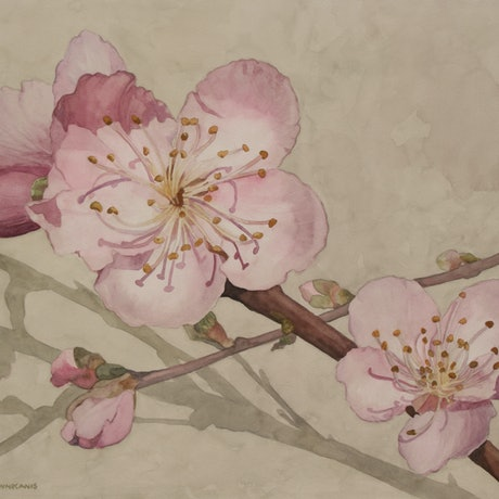 (CreativeWork) Peach Blossoms by JAN LAWNIKANIS. Watercolour Paint. Shop online at Bluethumb.