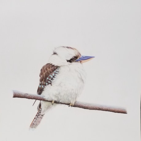 (CreativeWork) Young kookaburra waiting for breakfast by Nicole Karin. Drawings. Shop online at Bluethumb.