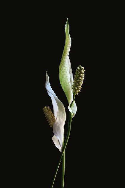 (CreativeWork) Peace Lilies by Nadia Culph. photograph. Shop online at Bluethumb.