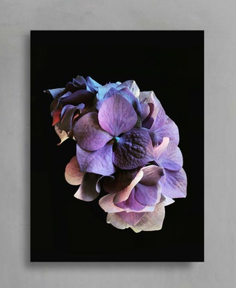 (CreativeWork) Purple Hydrangea Ed. 1 of 100 by Nadia Culph. Photograph. Shop online at Bluethumb.