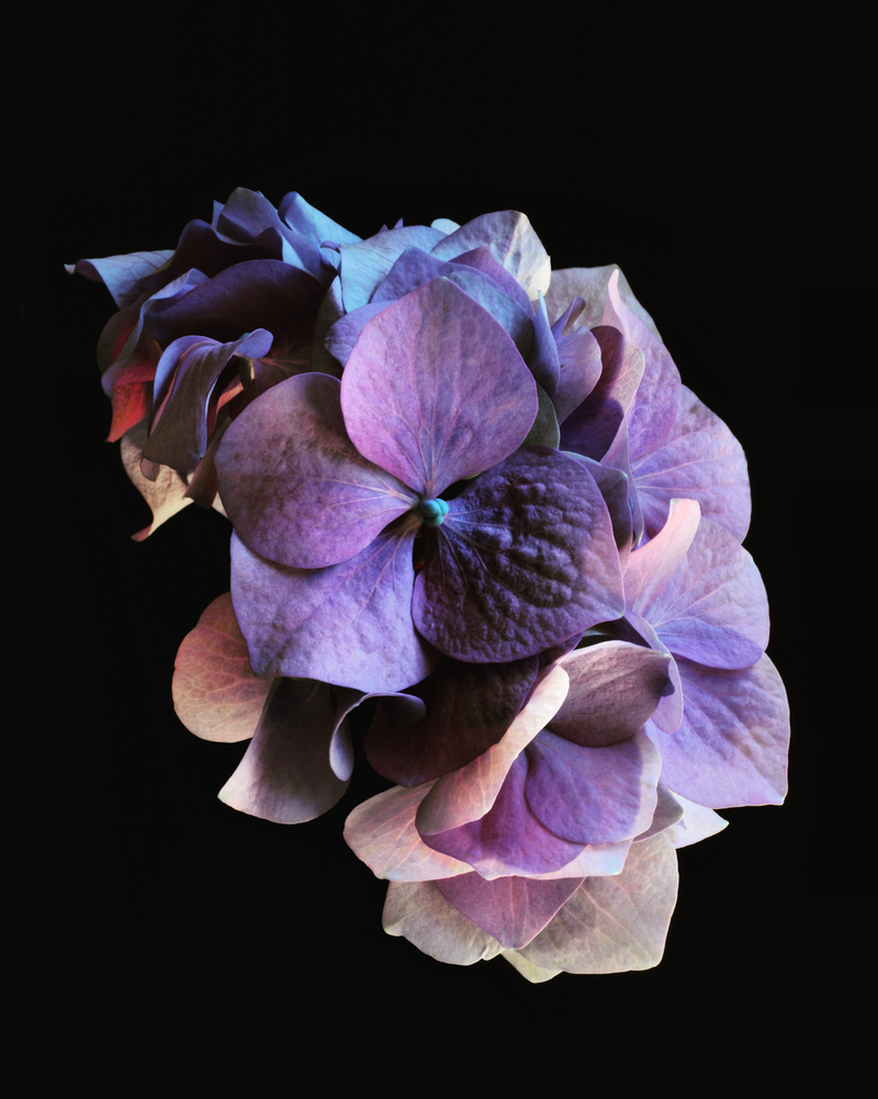 (CreativeWork) Purple Hydrangea by Nadia Culph. photograph. Shop online at Bluethumb.