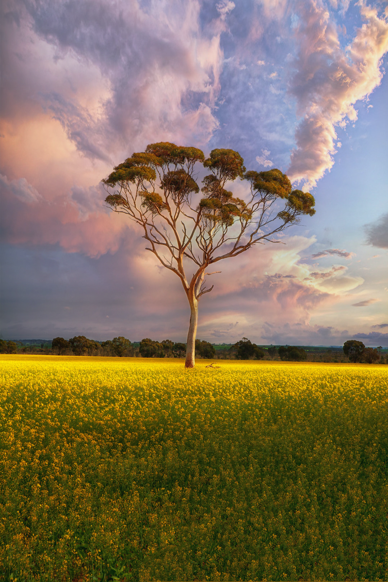 (CreativeWork) Lone Gum Tree in Canola Field by Craig Hammersley. photograph. Shop online at Bluethumb.