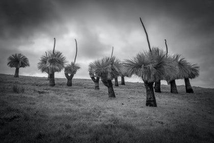 (CreativeWork) GrassTrees by Craig Hammersley. photograph. Shop online at Bluethumb.