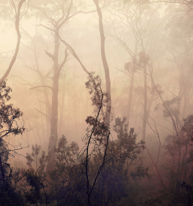 (CreativeWork) Native Pines in Fog by Alex Frayne. photograph. Shop online at Bluethumb.