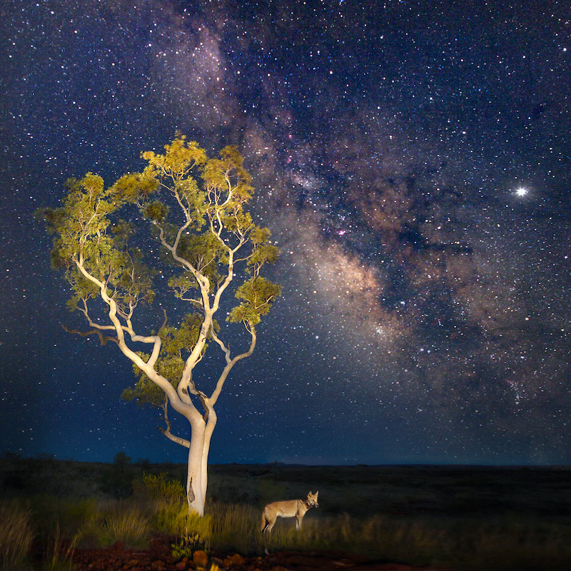 (CreativeWork) Dingo Nightscape by Craig Hammersley. photograph. Shop online at Bluethumb.