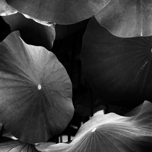 (CreativeWork) Lily Pond Detail Ed. 1 of 1 by Alex Frayne. photograph. Shop online at Bluethumb.