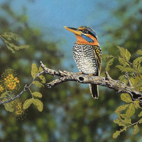 (CreativeWork) Rufous-Collared Kingfisher by Julie Sparks. Acrylic Paint. Shop online at Bluethumb.