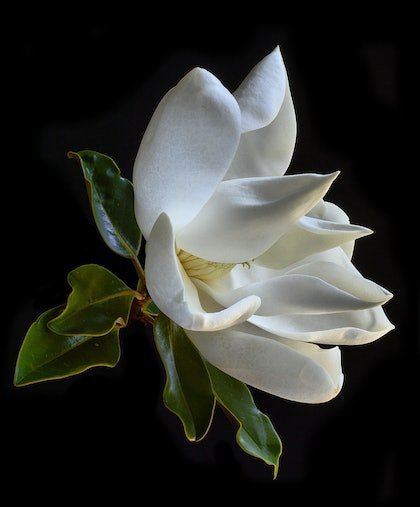 (CreativeWork) Magnolia Grandiflora by Nadia Culph. photograph. Shop online at Bluethumb.