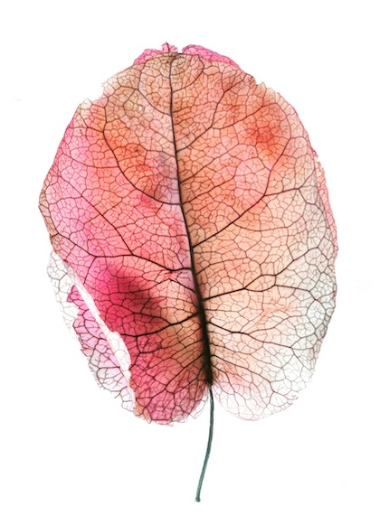 (CreativeWork) Autumn Leaf by Nadia Culph. photograph. Shop online at Bluethumb.