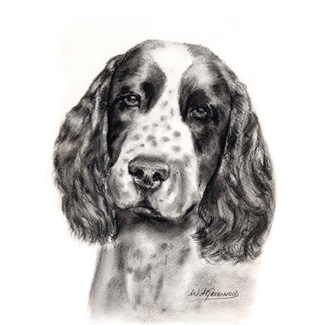 (CreativeWork) Springer Spaniel.    Limited Edition Print.  Ed.1 of 50 by Wendy A. Greenwood. Drawings. Shop online at Bluethumb.