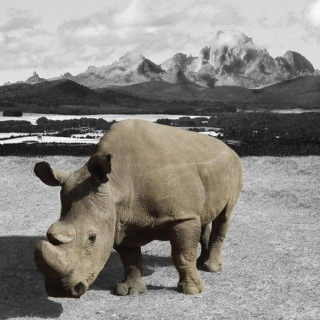 (CreativeWork) And then there was one – Sudan the last Northern White Rhino by Gillie and Marc Schattner. Photograph. Shop online at Bluethumb.
