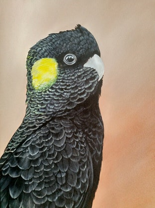 (CreativeWork) Yellow Tailed Black Cockatoo  by Amanda Skye. Acrylic Paint. Shop online at Bluethumb.