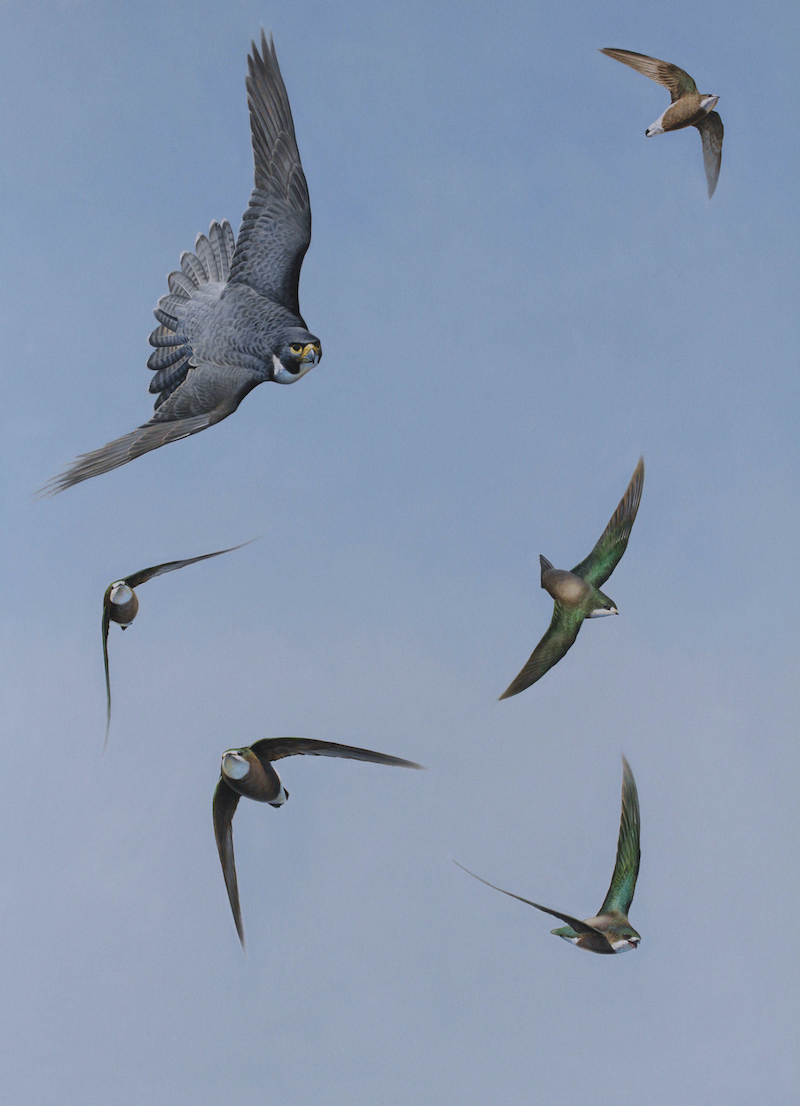 (CreativeWork) 'Top Guns' Peregrine Falcon and White-throated Needletails by Brett Jarrett. Oil Paint. Shop online at Bluethumb.