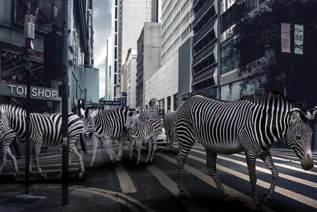(CreativeWork)  Zebra Crossing by Gillie and Marc Schattner. Photograph. Shop online at Bluethumb.