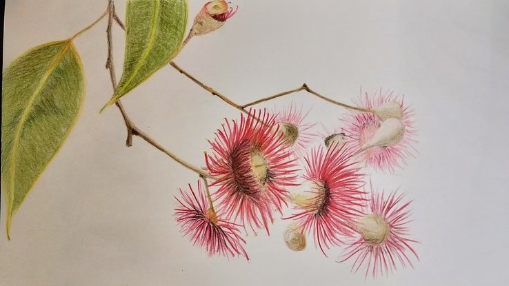 (CreativeWork) Red Flowering Gum by Lisa Gaudron. Drawings. Shop online at Bluethumb.