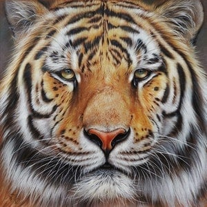 "(CreativeWork) ""Faces of the wild - Amur Tiger"" Ed. 2 of 100 by Elena Kolotusha. print. Shop online at Bluethumb."