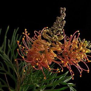 (CreativeWork) Grevillea No.1 Ed. 1 of 30 by Carmel Louise. photograph. Shop online at Bluethumb.