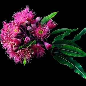 (CreativeWork) Pink Flavoured Gum on Black No.1 Ed. 1 of 30 by Carmel Louise. photograph. Shop online at Bluethumb.