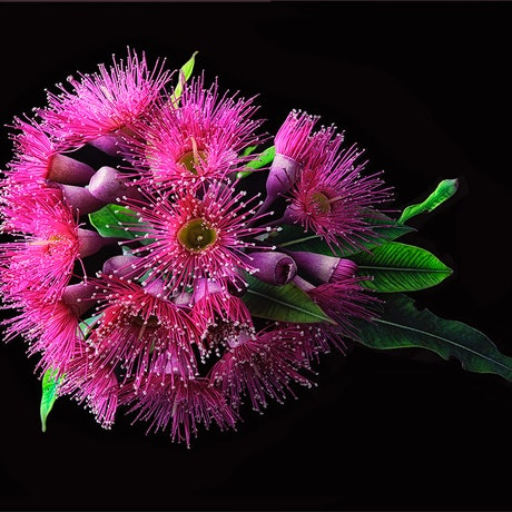 (CreativeWork) Pink Flavoured Gum on Black No.2 Ed. 1 of 30 by Carmel Louise. Photograph. Shop online at Bluethumb.