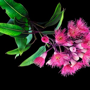 (CreativeWork) Pink Flavoured Gum on Black No.3 Ed. 1 of 30 by Carmel Louise. photograph. Shop online at Bluethumb.