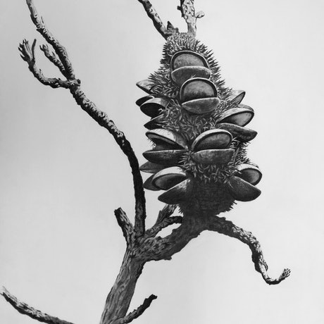 (CreativeWork) Morning Banksia by Ro Geddes. Drawings. Shop online at Bluethumb.