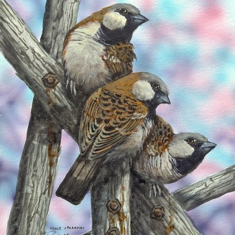 (CreativeWork) House Sparrows by Paul Margocsy. Watercolour Paint. Shop online at Bluethumb.
